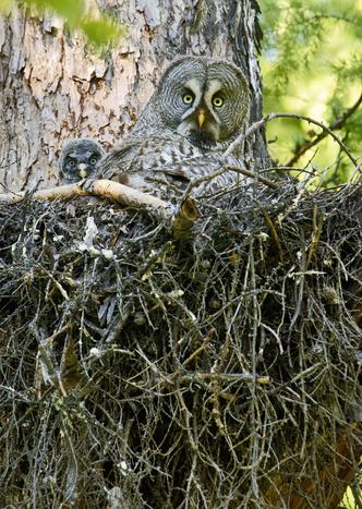Фото №2 - Властелины ночи: почему совы не то, чем кажутся?