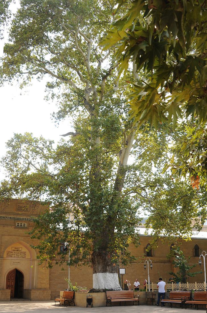 Фото №14 - Деревянные выборы: самые интересные деревья мира