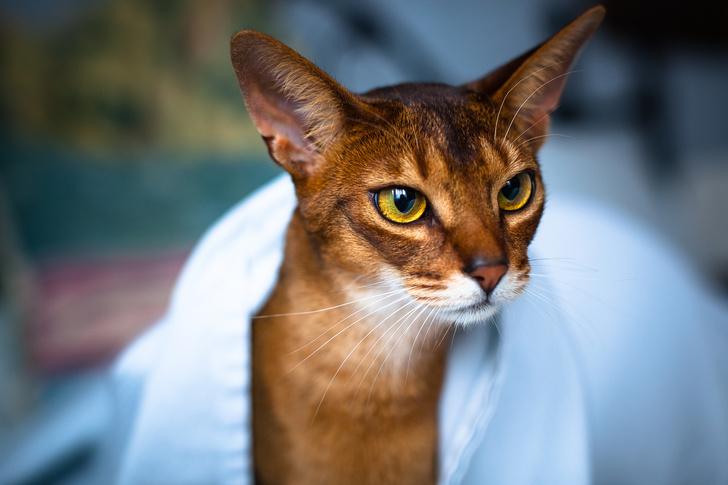 Фото №10 - Овну— мау, Раку— сфинкс: какая кошка подходит вам по знаку зодиака