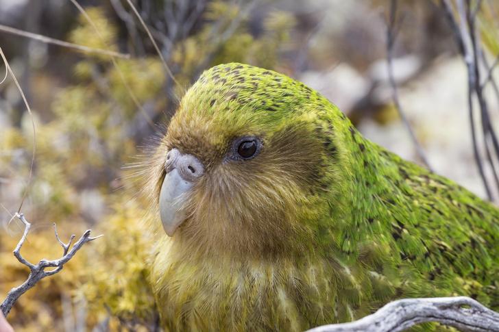 Фото №1 - Ученые проверили генетику попугаев какапо