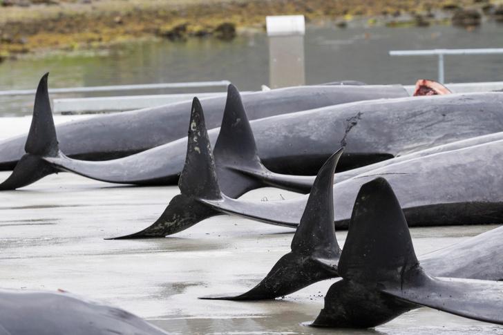 Фото №1 - Охота на дельфинов на Фарерских островах и еще 5 убийственных традиций разных стран