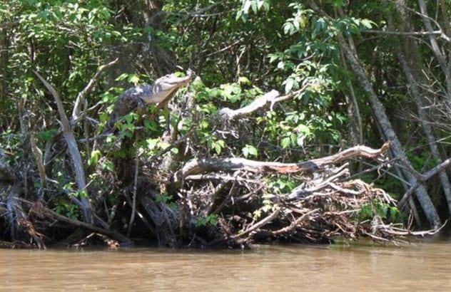 Фото №3 - 5 трогательных фактов про крокодилов