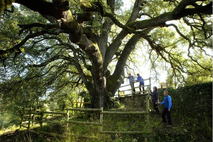 Фото №17 - Деревянные выборы: самые интересные деревья мира