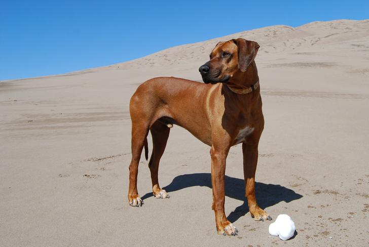 Фото №12 - Топ-15 самых популярных в России пород собак