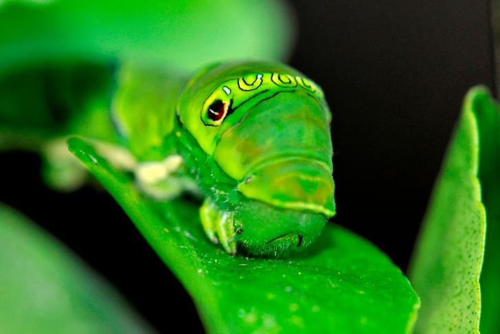 Фото №2 - Эффект бабочки: как чешуекрылым насекомым удается оставаться для нас таинственными незнакомцами