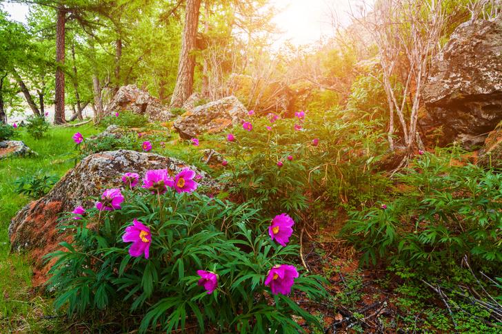 Фото №4 - Дикий соперник розы: где в России найти одно из самых красивых лекарственных растений