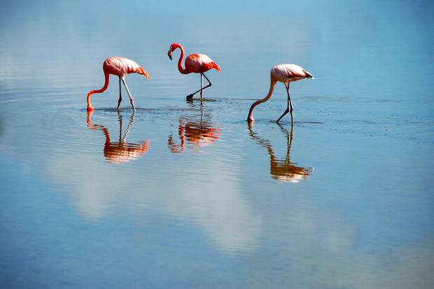 Дикие розовые фламинго, Кайо-Коко, Куба