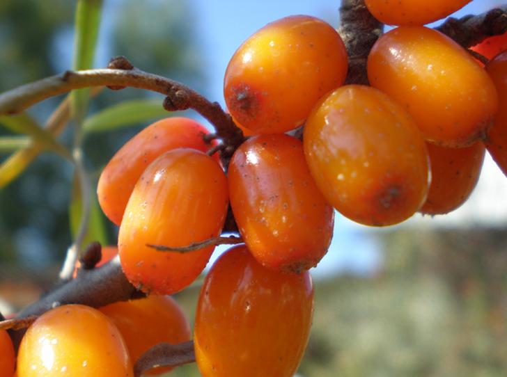 Фото №6 - В своем отечестве: самые полезные осенние ягоды