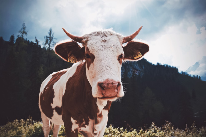 К чему снится корова
