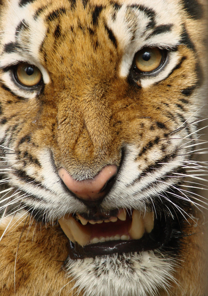 Фото №1 - Полосатый охотник: как выживает одна из самых редких кошек России и мира