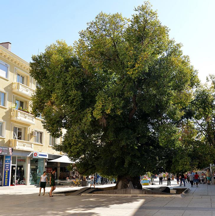 Фото №4 - Деревянные выборы: самые интересные деревья мира