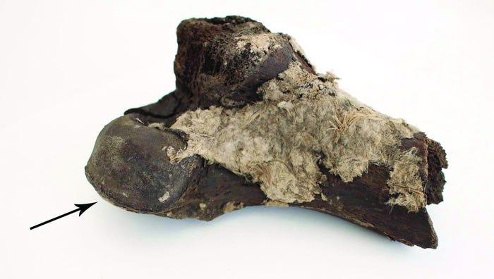 Фото №1 - В датском музее обнаружили потерянные кости викингов