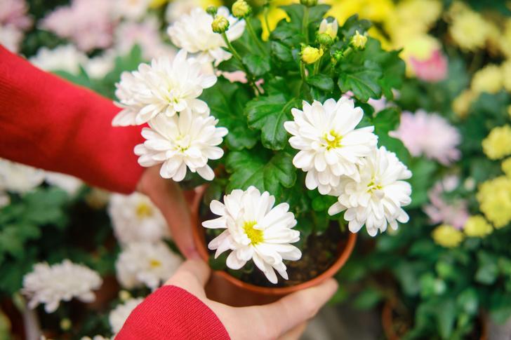 Домашняя хризантема в горшке цветет осенью