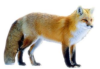 Фото №2 - Союз рыжих: как лисы стали привычными дикими спутниками человека
