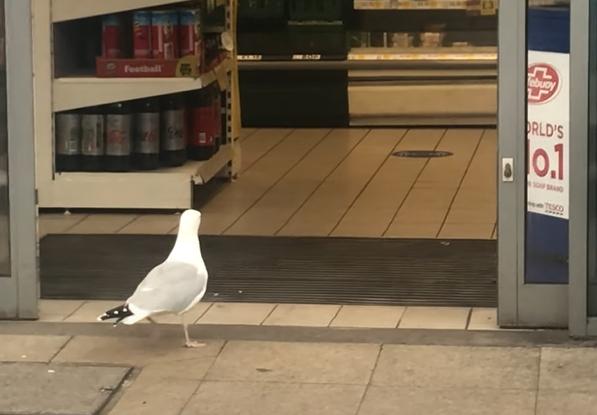 Фото №1 - Чайка зашла в магазин и убежала, не расплатившись (видео)