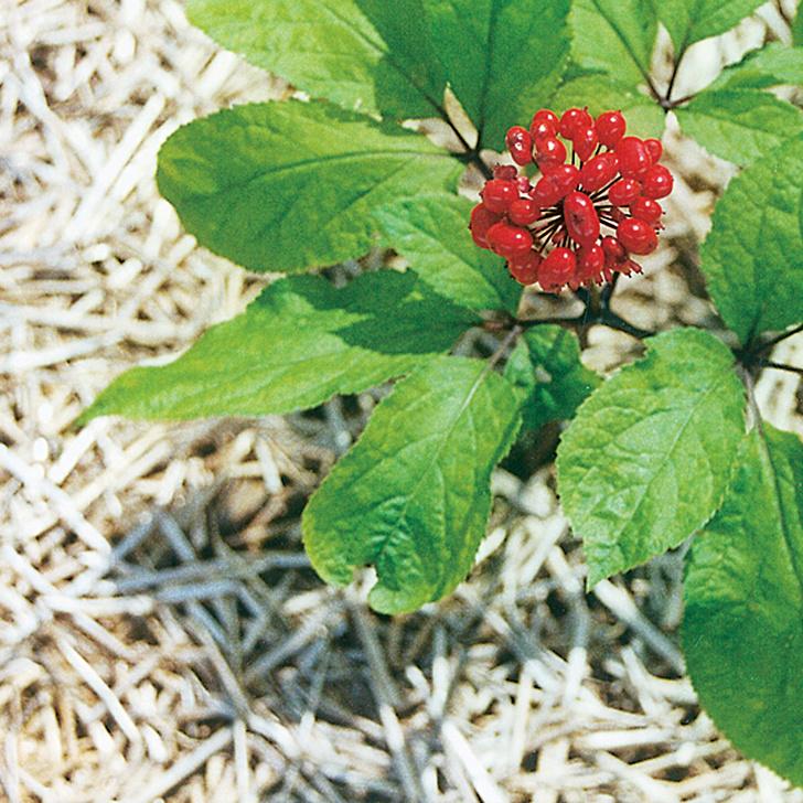 Фото №2 - «Корень жизни»: где найти цветок-панацею