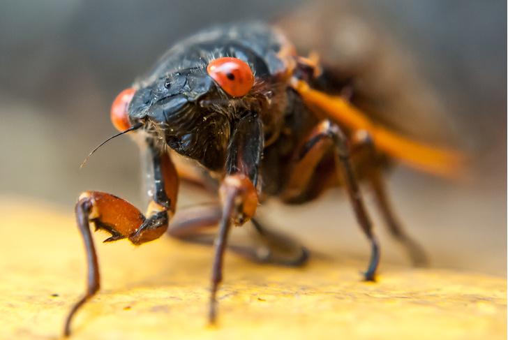 Фото №1 - Кому поют цикады: 10 фактов о певчих насекомых