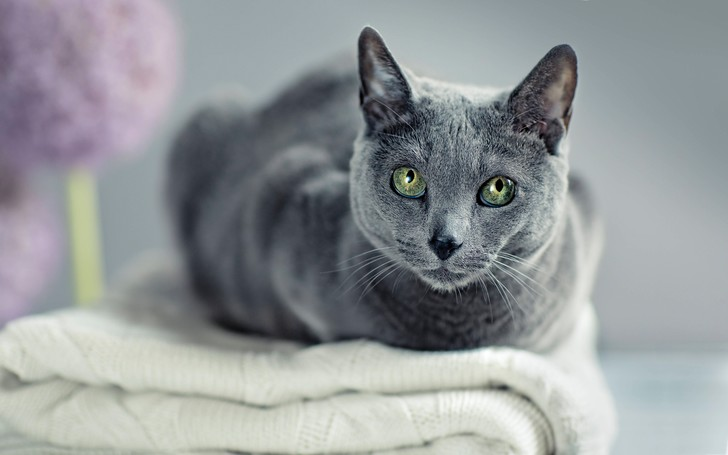 Фото №1 - Может ли порода кошки рассказать о ее характере?