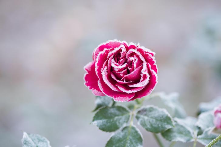 Как спасти розы от вымерзания